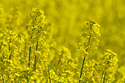 Oblong Format Framed Prints - Rapeseed Blossoms Framed Print by Melanie Viola