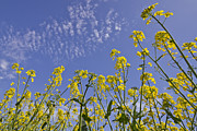 Clear Sky Art - Rapeseed by Melanie Viola