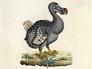 Extinct Bird Prints - Raphus Cucullatus, Extinct Dodo Bird Print by Science Source