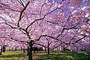 Cherry Blossoms Metal Prints - Rapt Away Metal Print by Mitch Cat