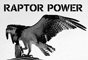 Florida Wildlife Photography Prints - Raptor Power Print by David Lee Thompson