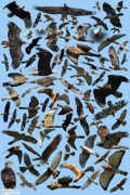 Merlin Posters - Raptor Roundup Poster by ML Lombard