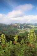 Waimea Valley Posters - Rare Iliau Plants Poster by Greg Vaughn - Printscapes