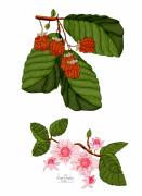 Raspberry Digital Art - Raspberries and Raspberry Blossoms by Anne Norskog