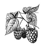 Raspberry Drawings - Raspberries by Daniel Paul Murphy