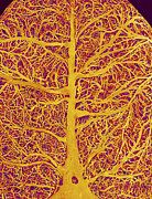 Blood System Prints - Rat Brain Blood Vessels, Sem Print by Susumu Nishinaga