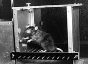 Animal Research Framed Prints - Rat In Skinner Box Framed Print by Photo Researchers, Inc.