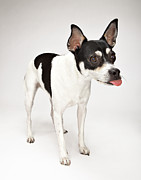 Sticking Out Posters - Rat Terrier / Chihuahua Dog Sticking Tongue Out Poster by Evan Kafka