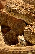 Rattlesnake Photos - Rattlesnake And Rattle by Max Allen