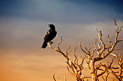 Wild Metal Prints - Raven On Sunlit Tree Branches, Grand Canyon Metal Print by Trina Dopp Photography