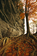 Tree Roots Prints - Raven Rock And Autumn Colored Beech Print by Raymond Gehman