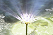 Lotus Leaves Prints - Rays of Hope Print by Douglas Barnard