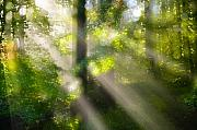 Forest Light Posters - Rays of Light in the Forest Poster by Silke Magino