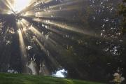 Foggy Day Prints - Rays Of Sunlight Through The Trees And Print by Craig Tuttle