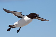 Seabirds Metal Prints - Razorbill In Flight Metal Print by Bruce J Robinson