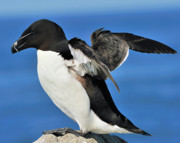 Razorbill Framed Prints - Razorbill Framed Print by Tony Beck