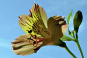 Peruvian Lily Photos - Reach To The Sky. by Terence Davis