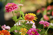 Zinnias Photos - Reaching for the Sun by Rich Franco