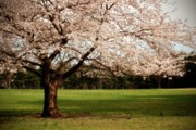 Cherry Blossom Trees Prints - Reaching Out - Ocean County Park Print by Angie McKenzie