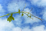 Grapevine Leaf Photo Prints - Reaching Out Print by Heidi Smith