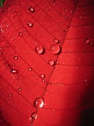 Extreme Close Up Prints - Read Leaf With Drops Print by Anna Grove