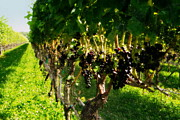 Merlot Photos - Ready For Harvest by Gladys Steele