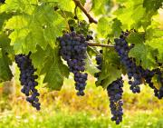 Blue Grapes Posters - Ready for Harvest Poster by Marion McCristall