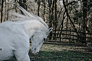 White Unicorn Photos - Ready for my unicorn horn by Donna Harding