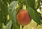 Peach Photos - Ready for picking 2904 by Michael Peychich