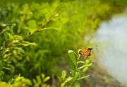 Narrow Focus Framed Prints - Ready set go Viceroy Butterfly Framed Print by Marianne Campolongo
