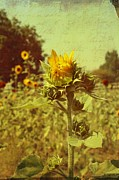 Yellow Sunflowers Prints - Ready to bloom Print by Cathie Tyler