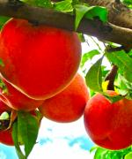 Peach Photos - Ready to Pick by Gwyn Newcombe