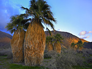 Fan Palm Framed Prints - Real Fan Palm Anza Borrego Desert Framed Print by Tim Fitzharris