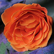 Orange Rosebud Posters - Really Orange Rose Poster by Ann Horn