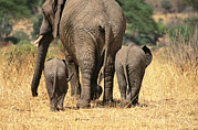 Tarangire Prints - Rear View Of Female Elephant Flanked Print by Mark Cosslett
