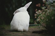 Australia Photographs Photos - Rear View Of White Rabbit In Garden by Jason Edwards