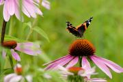 Larry Ricker - Red Admiral on Cone Flower