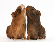 Animal Humor Framed Prints - Red Agouti Guinea Pigs Framed Print by Mark Taylor