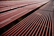Creams Prints - Red Algae Farming Print by Photostock-israel