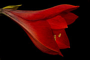 Amaryllis Photos - Red Amaryllis - 1 by Ann Garrett