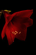 Belladonna  Photos - Red Amaryllis - 2 by Ann Garrett