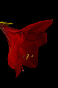 Belladonna  Photos - Red Amaryllis - 3 by Ann Garrett