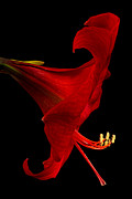 Amaryllis Photos - Red Amaryllis - 4 by Ann Garrett