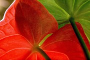Ranjini Kandasamy Framed Prints - Red and Green Anthurium Framed Print by Ranjini Kandasamy