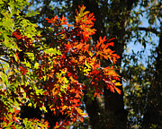 Autumn Foliage Photos - Red and Green Autumn Leaves I by Jai Johnson