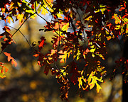 Red Leaves Photos - Red and Green Autumn Leaves II by Jai Johnson