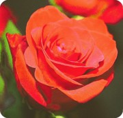 Orange Roses Posters - Red and Orange Poster by Cathie Tyler