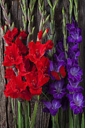 Red Gladiolus Photos - Red and purple Gladiolus  by Garry Gay