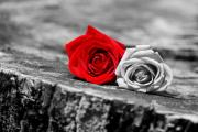 Red Rose Photos - Red and White by Emily Stauring