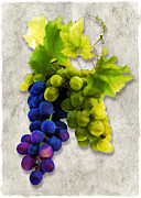Wine Illustrations Framed Prints - Red and White Grapes Framed Print by Elaine Plesser
